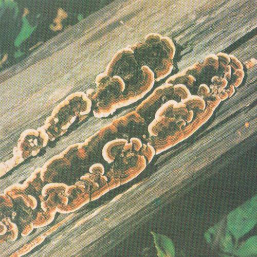 Колесникова про грибы болезни и