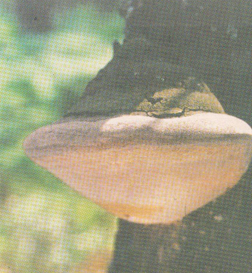 Трутовик ложный дубовый