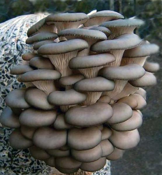 Разведение грибов